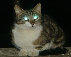Почему у кошек ночью светятся глаза? - Хочу всё знать